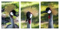 Grey Crowned Crane Gulf Shores Al Collage 2