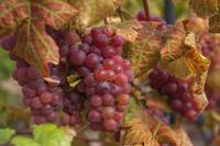 Red Grapes Clusters 1