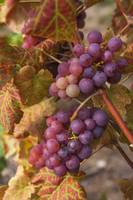 Red Grapes Clusters 3