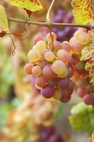 Red Grapes Clusters 7