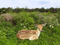 Fawn and Wildflowers