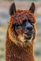 Alpaca Close-up on Utah Farm