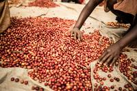 Coffee Cherry Sorting in Rwanda