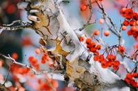 COLORADO WINTER BERRIES