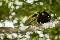 Chestnut-mandibled Toucan (Ramphastos swainsonii)