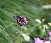 Looking up at Black Swallowtail Butterfly