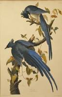 John James Audubon (1785-1851) COLUMBIA JAY Garrul
