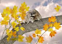 Raccoon in Maple Tree