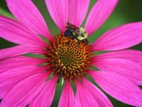 Bee U T on a Coneflower