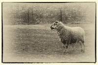 Ewe From the Past