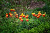 Spring Tulips at Mt Vernon