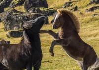 Fighting Icelandic Horses 2