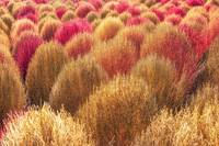 kochia scoparia autumn