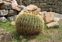 Golden Ball cactus, Majorca