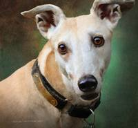 marlowe greyhound portrait
