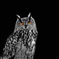 The Eagle Owl