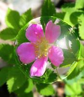 Pink Flower in a Bubble