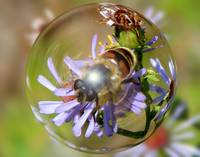 Honeybee in Floating in a Bubble