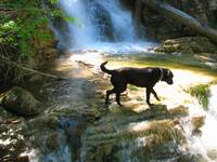 Labrador Retriever at Angel Falls Montana
