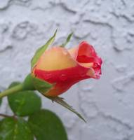 Cream and red Dick Clark Rose bud