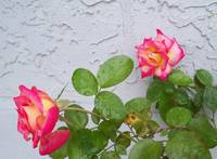 Dick Clark roses sideview