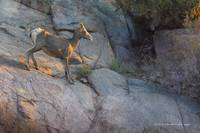 bighorn sheep ewe on cliffside