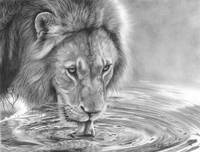 Lapping It Up - African Wildlife - Lion