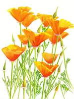 California Poppies, white background