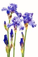 Three Purple Irises (white background)