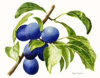 Damson Plums (white background)
