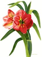 Red Orange Amaryllis