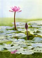 Pink Water Lily Blossom with Bud