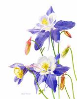 Blue Columbine Flowers, white background