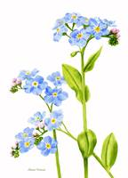 Forget-me-nots (white background)