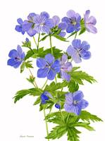 Cranes Bill, Wild Geranium, illustration