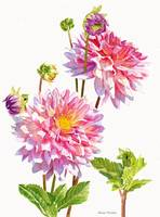 Bright Pink Dahlias with Buds white backbground