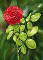 Bright Red Rose with Dark Background