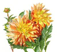 gold and orange dahlias 11.5 x 12.5
