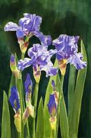 lavender irises & buds with dark background