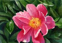 bright rose colored peony full