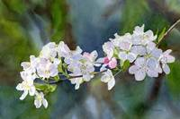 crab apple blossoms with background not color adj