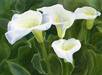 four calla lily blossoms with leaves-1
