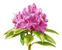 Magenta Colored Rhododendron white background