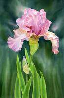 Pink Iris dark background revised
