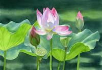 Pink Lotus Blossom with Bud and Seed Pods