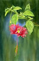 Hibiscus Chinese Red Lantern