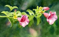 Pink Allamanda Blossoms with Background