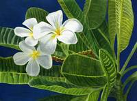 White Plumeria Blossoms with Blue Background