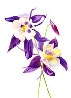 Two Purple Columbine Flowers