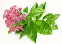 Ixora, Pink Tropical Flower